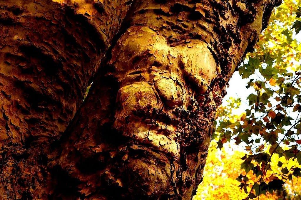 The Cazash Tree