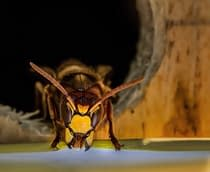 Wasp. A short story of a queen's quest for revenge
